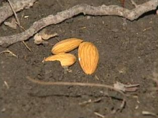 [Almonds on grave at Lyonsville Cemetery at Indian Head Park - Screen capture from http://www.myfoxchicago.com/]
