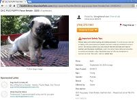 [Pug Puppy For Sale]