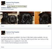 [Parsons Pug Puppies]